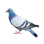 Insekty u gołębi