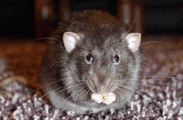 jak pozbyć się szczurów i myszy